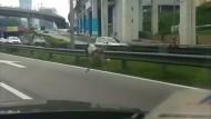 Strauß flieht auf Autobahn