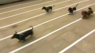 Dackel parodieren Windhunde