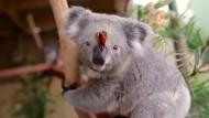 Koala und Schmetterling freunden sich an