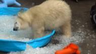 Eisbär-Baby Nora sucht Abkühlung im Eiskübel
