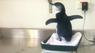 Pinguin-Findelkind wird aufgepäppelt