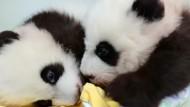 Pandababys bekommen nach 100 Tagen Namen