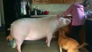 Riesenschwein Esther wiegt fast 300 Kilogramm