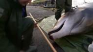 Schnabelwal stirbt durch Plastik im Meer