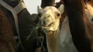 Qatars Kamele dürfen heim