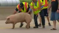 Schweine besetzen Autobahn