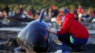 Hunderte weitere Wale gestrandet