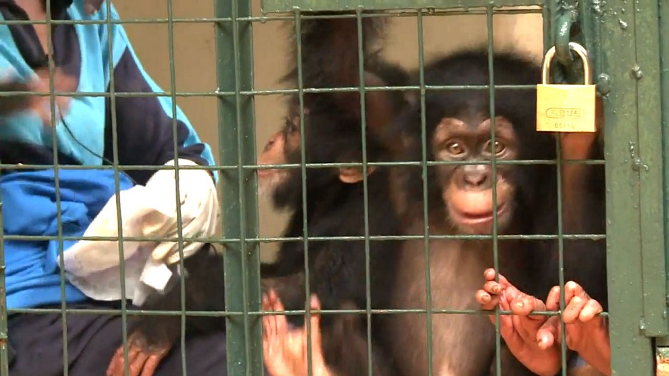 Schimpansen-Babys in Not