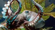 Tintenfische erobern die Ozeane
