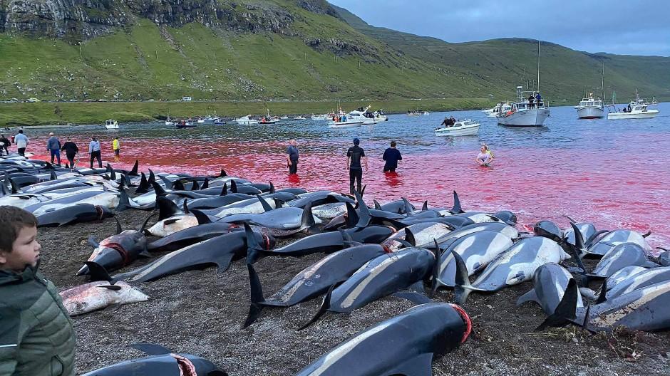 Die Umweltschutzorganisation Sea Shepherd veröffentlichte Fotos und ein langes Video auf Facebook, auf dem zu sehen war, wie Männer die Tiere aus blutrotem Wasser an einen Strand zogen.