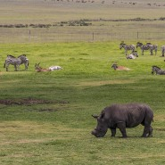 Hornlos: Um sie für Wilderer uninteressant zu machen, werden den Tieren in südafrikanischen Nationalparks dir Hörner abgesägt.