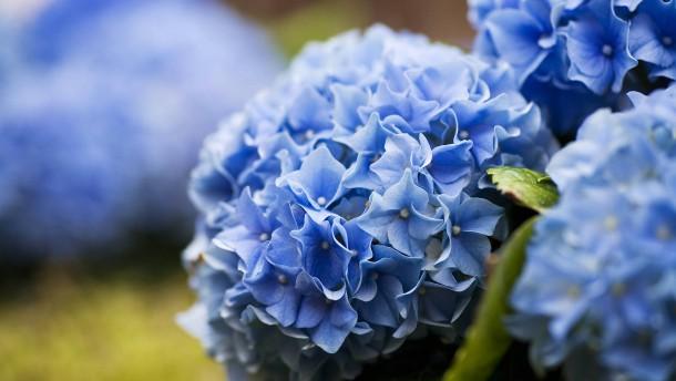Gesucht: die Blaue Blume