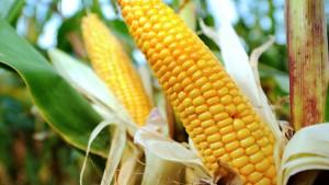 Monsanto gibt Deutschland vorerst auf