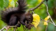 Zeichnet sich durch eine kluge Essenswahl aus: ein Eichhörnchen