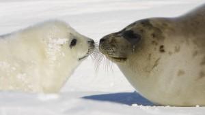 Die Tuberkulose kam mit Robben nach Amerika