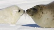 Übertrugen Meeressäuger wie diese kanadischen Robben Tuberkulose auf Menschen?