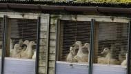 Vogelgrippe breitet sich weiter in Europa aus