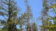 Der Westwald Darmstadts ist ein von Trockenheit besonders betroffenes Gebiet und dort sterben ganze Waldzonen ab.
