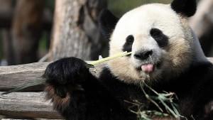 """Pandas """"Schätzchen"""" und """"Träumchen"""" flirten"""