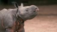 Kleines Nashorn in Großbritannien geboren