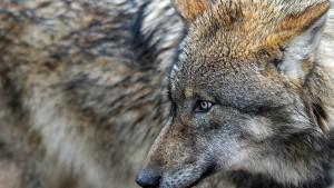 Keine Angst vor dem Wolf?