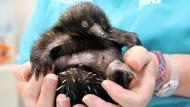 Australischer Zoo züchtet Schnabeligel nach