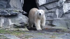 Eisbär Hertha feiert Geburtstag