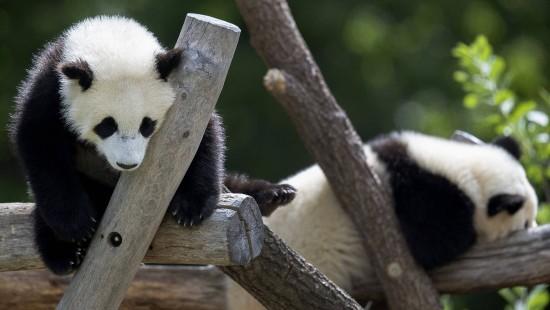 Pandanachwuchs auf Erkundungstour