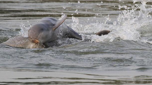 Historischer Erfolg für Irrawaddy-Delfin