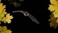 Nachtjagd: Die Bechsteinfledermaus kann mit ihren kurzen, aber breiten Flügeln im langsamen Flug gut manövrieren.