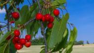Leuchtend rot, so wünscht man sich die reifen Kirschen, wie hier in Brandenburg, mit möglichst großen, festen Früchten.