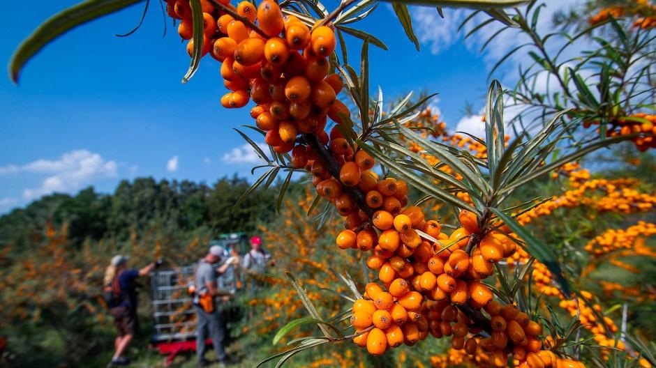 Auf einem Hektar Plantagenfläche stehen stehen etwa 1500 Pflanzen