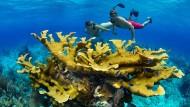 Richtig bunt leuchtet beim Schnorcheln möglicherweise bald nur noch die Badehose. Steigende Temperaturen schaden den Korallen. Einige wie Elchgeweihkorallen der Gattung Acropora machen sich schon ans Umsiedeln.
