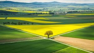 Ein Drittel strahlend gelbe Felder weniger