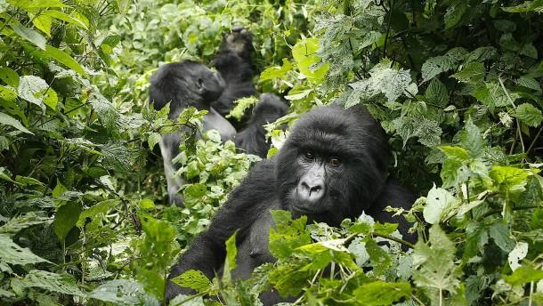 Pandemie bedroht auch Berggorillas