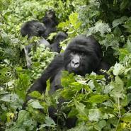 Berggorillas im Kongo: Die Affenart ist stark gefährdet.