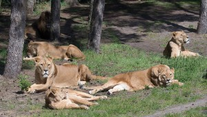 Zwei Löwen verletzen Tierpfleger schwer