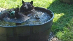 Schwarzbär Takoda kühlt sich ab