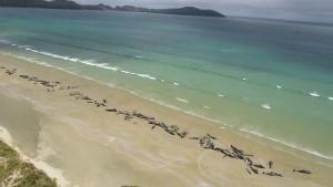 Mehr als 100 gestrandete Grindwale sterben in Neuseeland