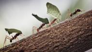 Laufen nicht blind drauflos: Ameisen im Staatsdienst