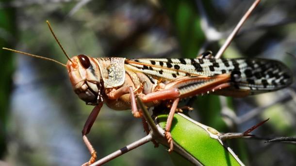 Heuschrecken verschlingen Ernte in Somalia