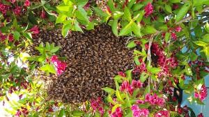 133 Millionen Bienen in Montana entkommen