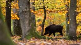 Afrikanische Schweinepest nun auch in Sachsen