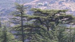 Klimawandel bedroht Libanons Zedern