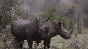 Stromschlag tötet Nashorn, Löwen, Giraffe und Hyänen