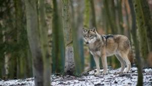 Wie fängt man einen Wolf?