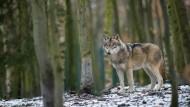 Gejagte Jäger: In Osthessen sucht man nach einem entflohenen Wolf (Symbolbild).