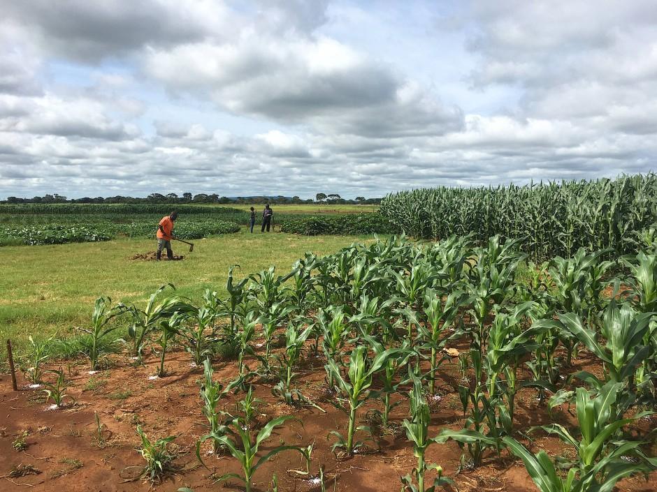 """Versuchsfelder von """"Harvest Plus"""" im Golden Valley in Sambia."""