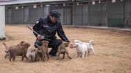 Jindo-Hunde: Zwischen Verehrung und Kochtopf