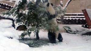 Riesenpanda erfreut sich an Tanne